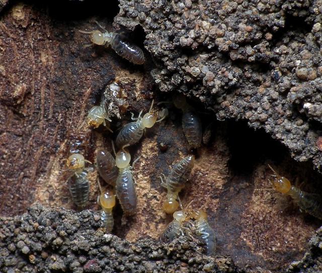 réglementation termites